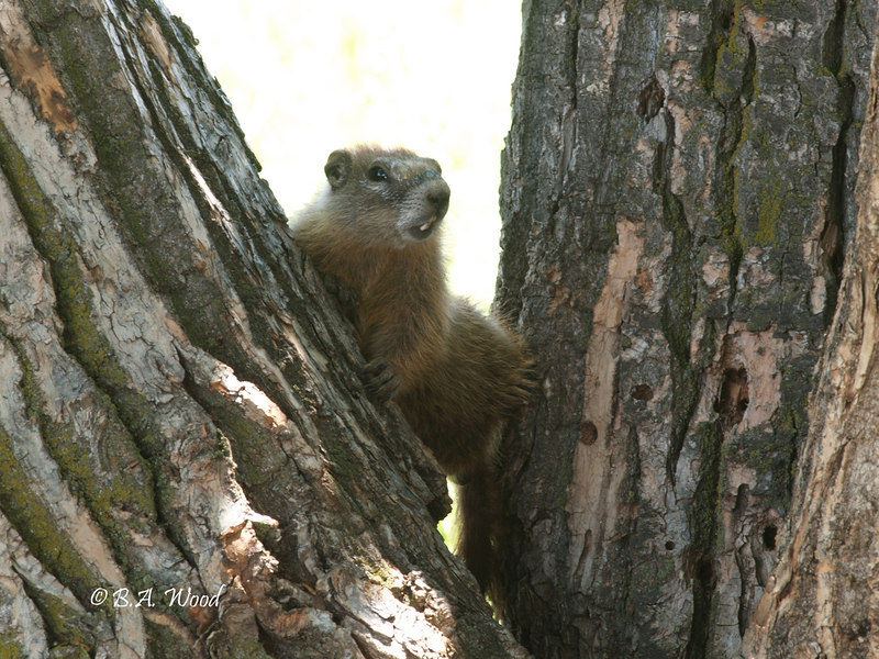 MF 186<br /> <br /> Young rockchuck (Marmota flaviventris).  This young one was really curious, so much so, that he climbed up between these two trees to see what I was doing.