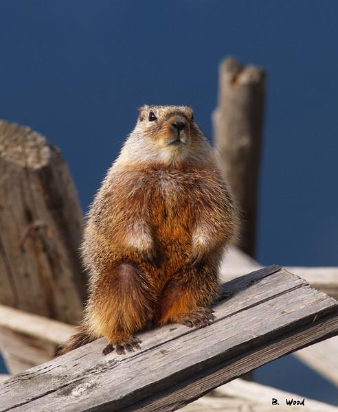 MF 07AP5843 <br /> <br /> Juvenile female Yellow-bellied Marmot (Marmota flaviventris).