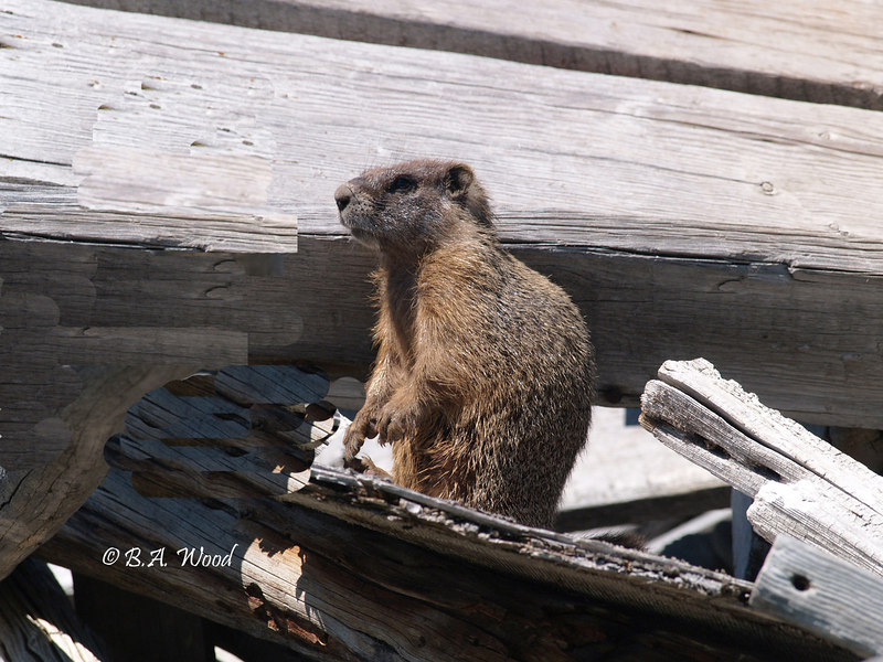 MF 064<br /> <br /> Juvenile yellow-bellied marmot (Marmota flaviventris).<br /> <br /> They like to build their burrows in areas where they feel protected.  This is an old scrap wood pile that they have burrowed in under.