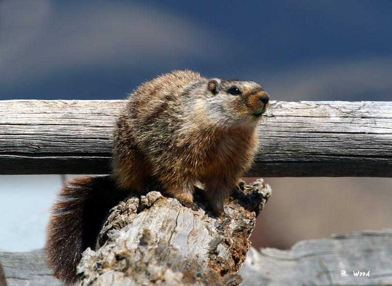 MF 5276<br /> <br /> Juvenile female Yellow-bellied Marmot (Marmota flaviventris).