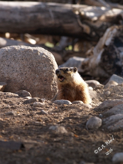 """MF 025<br /> <br /> Adult Yellow-bellied Marmot - aka Rockchuck.<br /> (Marmota flaviventris)<br /> <br /> """"Barking"""" - actually a loud chirping that is a warning to other marmots of danger."""