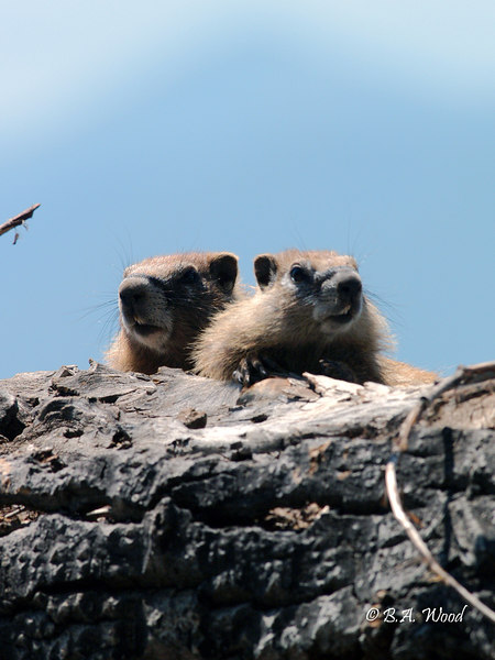MF 126<br /> <br /> Baby rockchucks (Marmota flaviventris).