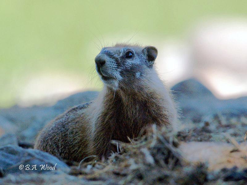 MF 028<br /> <br /> Juvenile yellow-bellied marmot(Marmota flaviventris).