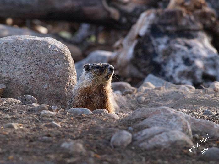 MF 039<br /> <br /> Adult Yellow-bellied Marmot - aka Rockchuck.<br /> (Marmota flaviventris)
