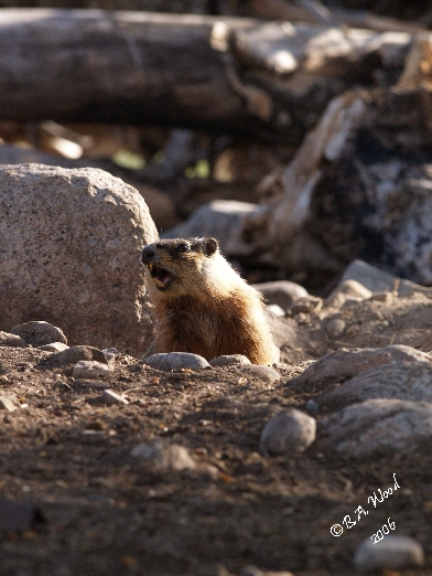 """MF 049<br /> <br /> Adult Yellow-bellied Marmot - aka Rockchuck.<br /> (Marmota flaviventris)<br /> <br /> """"Barking"""" - actually a loud chirping that is a warning to other marmots of danger."""