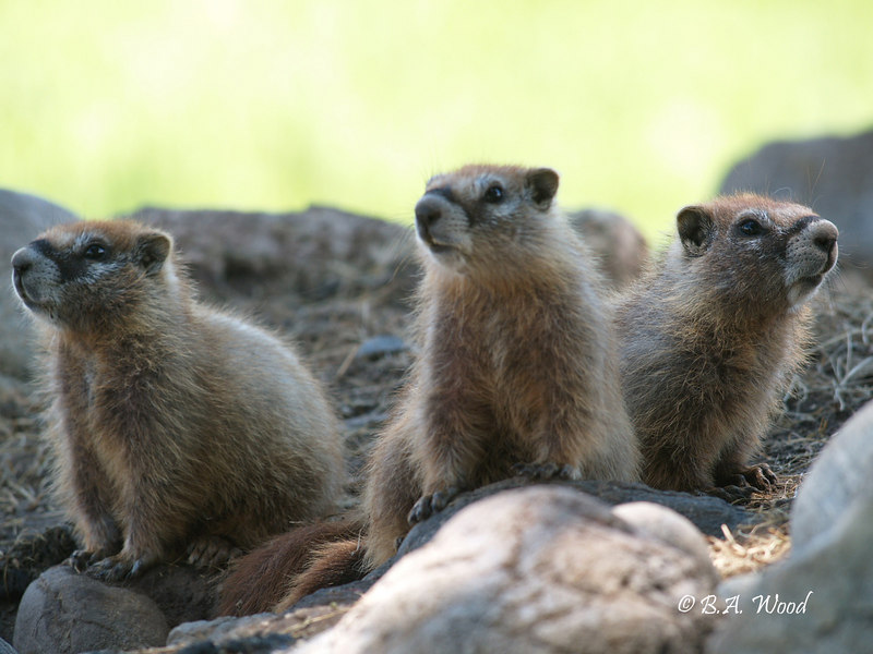 MF 224<br /> <br /> Baby rockchucks (Marmota flaviventris).<br /> <br /> These weren't sure where I was.  They knew I was around, but they weren't quite sure if I was dangerous or not.