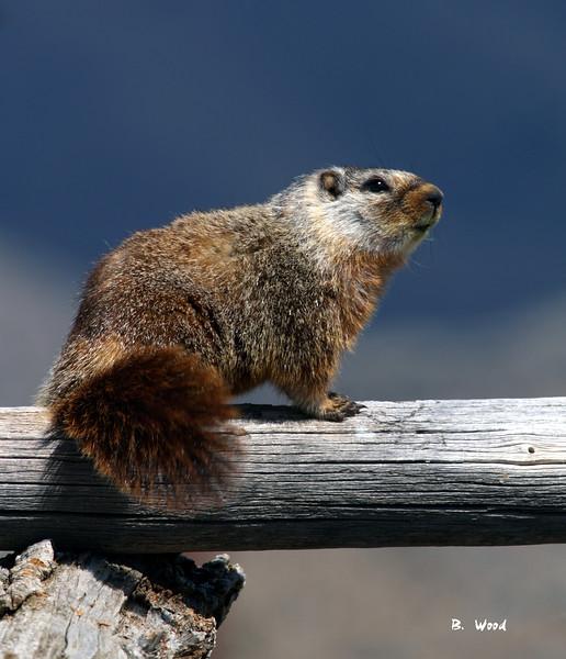 MF 5283<br /> <br /> Juvenile female Yellow-bellied Marmot (Marmota flaviventris).