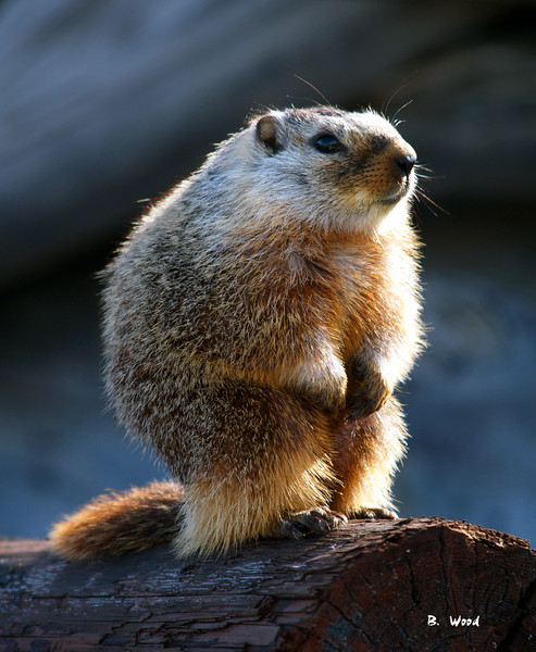 MF 06AP5496<br /> <br /> Juvenile female Yellow-bellied Marmot (Marmota flaviventris).