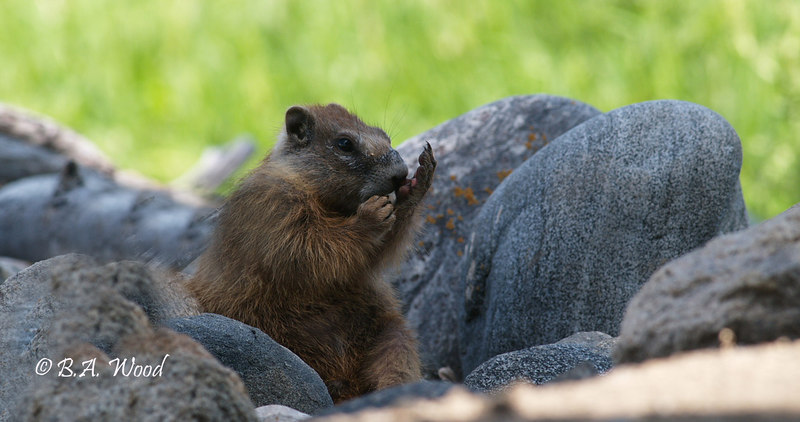 MF 244  <br /> <br /> Baby yellow-bellied marmot.   Grooming is a very important part of a rodents life.