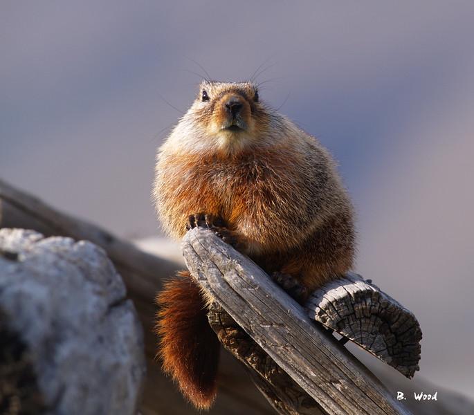 MF 07AP5833<br /> <br /> Juvenile female Yellow-bellied Marmot (Marmota flaviventris).