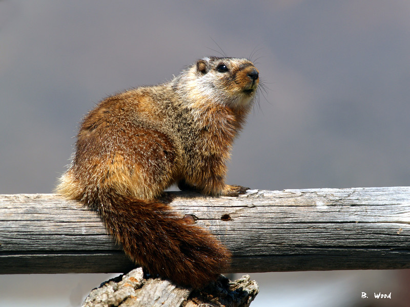 MF 06AP5368<br /> <br /> Juvenile female Yellow-bellied Marmot (Marmota flaviventris).