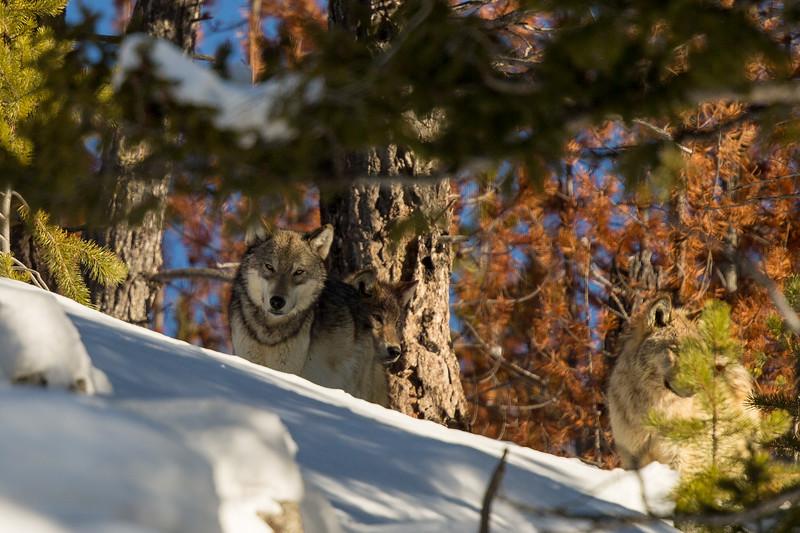 Wapiti wolf pack on the ridge above us