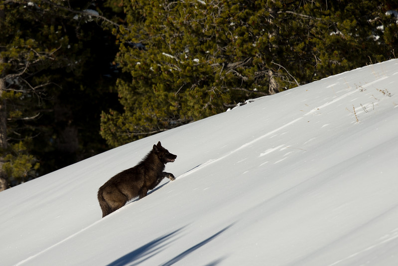 Black wolf running up  the hill after feeding on the bison