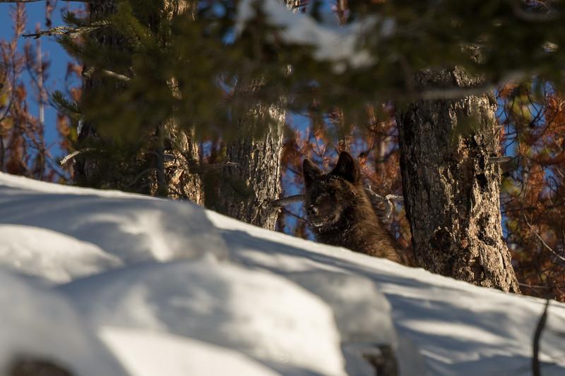 Black wolf along the ridge