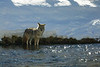 Coyote fishing in Madison River
