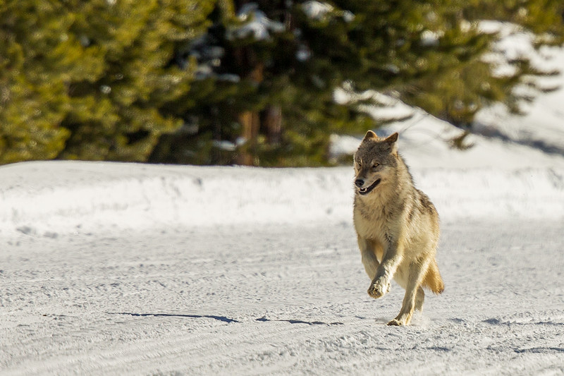 Wolf running down the road toward us