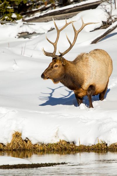 Bull elk feeding along river