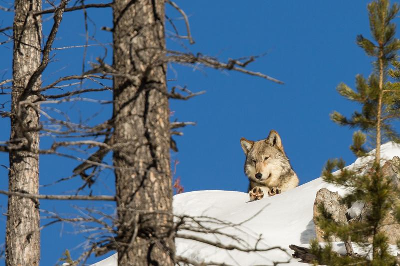 Wolf resting along the ridge