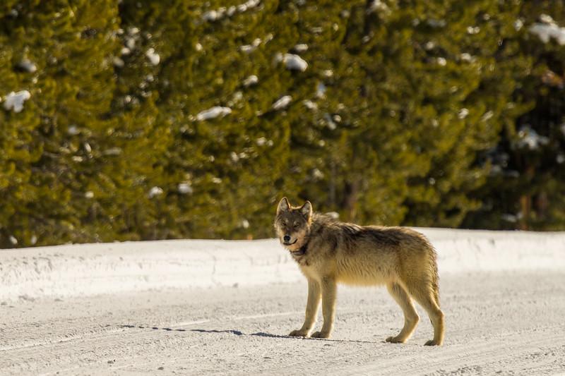 Wolf with radio collar