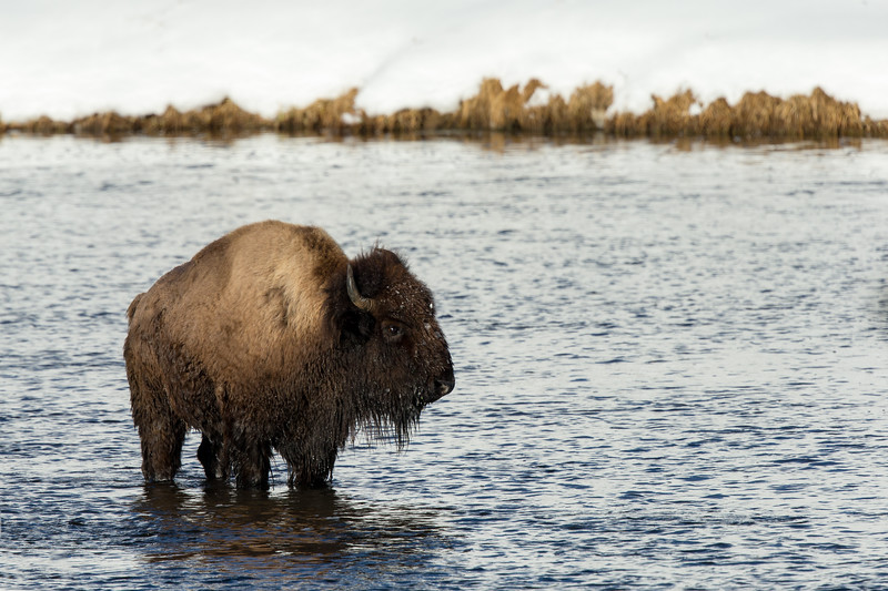 Injured bison hiding from wolves in river