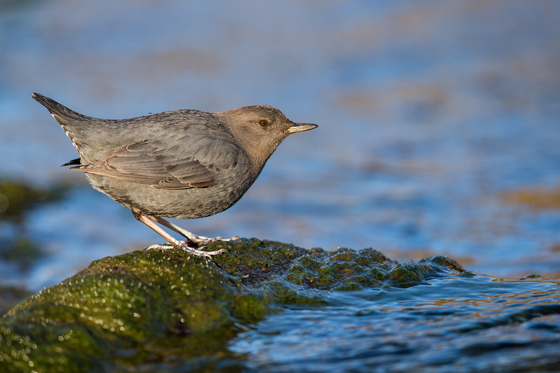 American Dipper - dives under water to feed