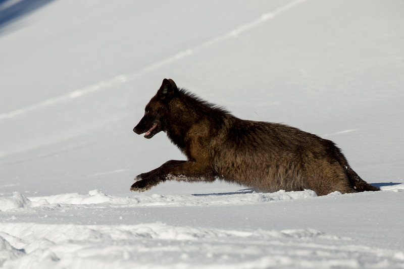 Black wolf running down the hill towards the road