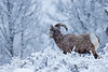 Bighorn Sheep in snow storm