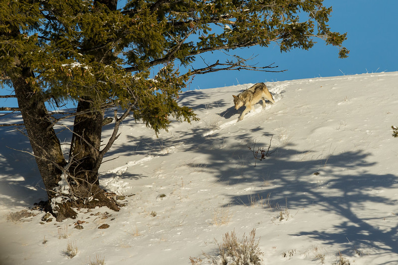 Wolf from Wapiti pack