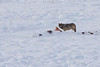 Wolf feeding on bison carcass