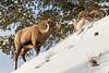 Bighorn Sheep intimidating a rival