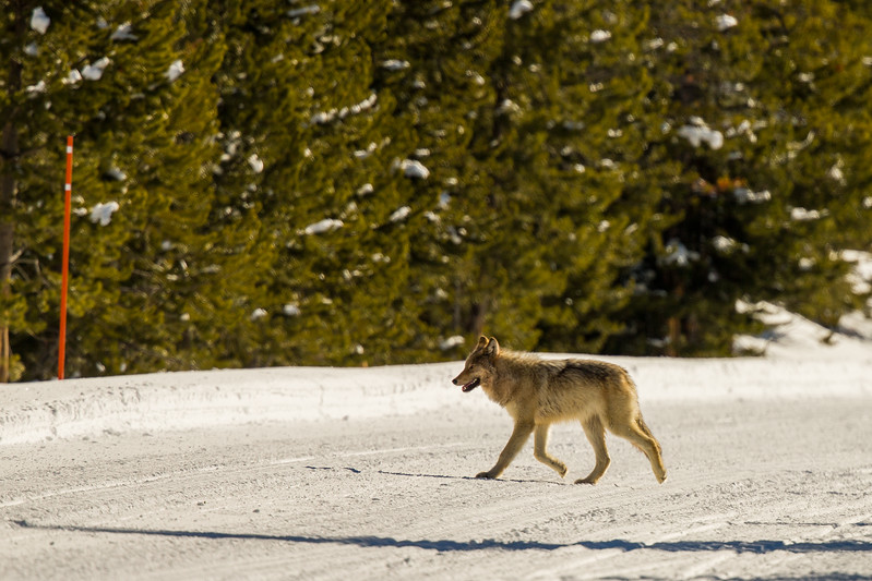 Wolf crossing the road