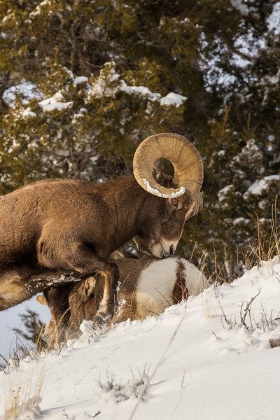 Bighorn Sheep intimidating a rival - actually kicked him trying to start a fight