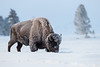Bison with frost at - 18 deg F
