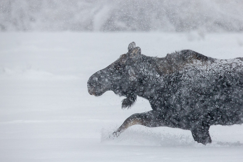 Moose in snow storm