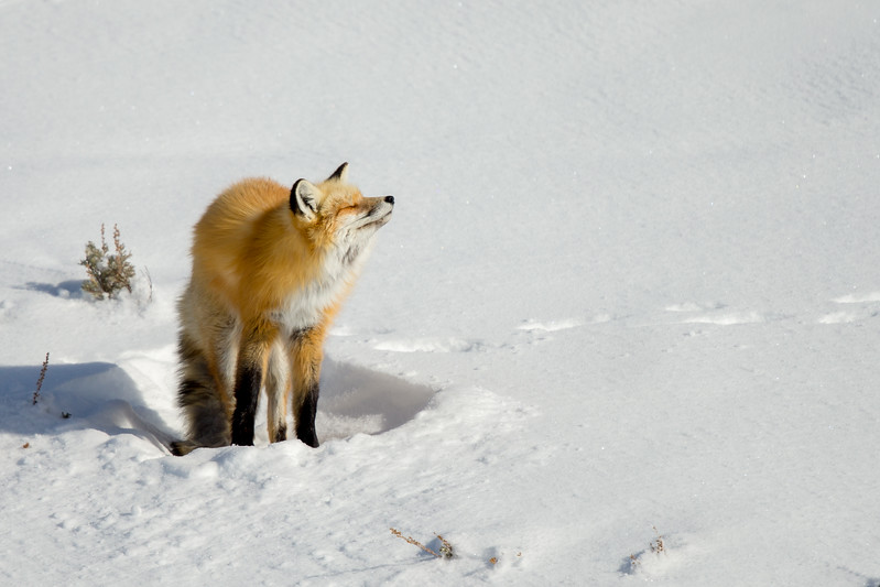 Red fox waking up from a 4 hour nap