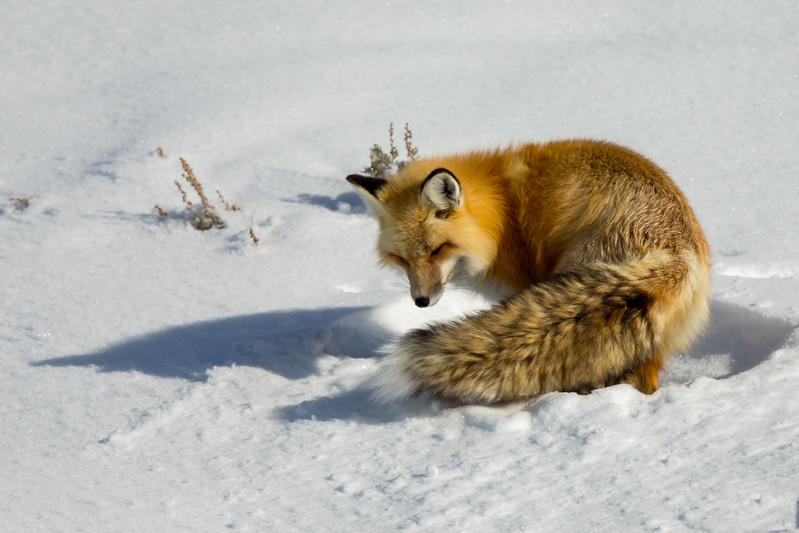 Red fox going back to sleep