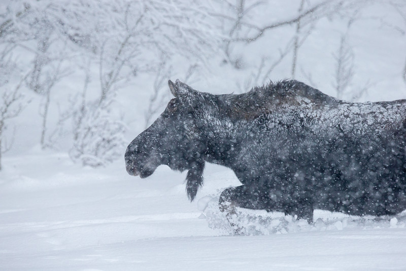 Moose in snow storm