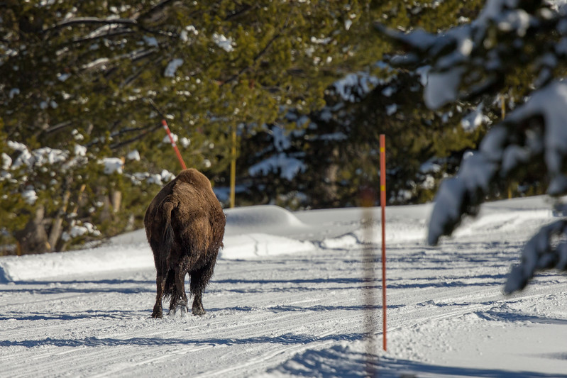 Injured bison