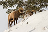 Bighorn Sheep intimidating a rival