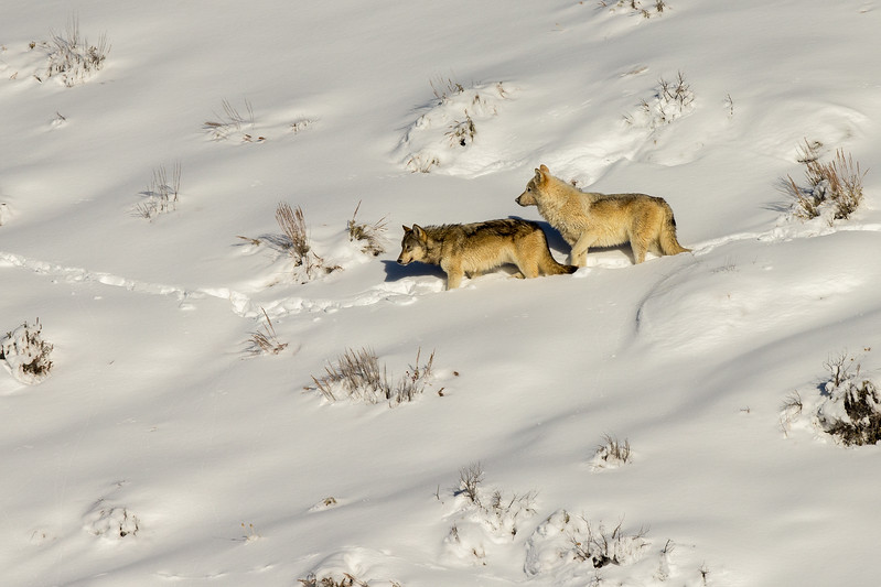 Wolves from Wapiti pack