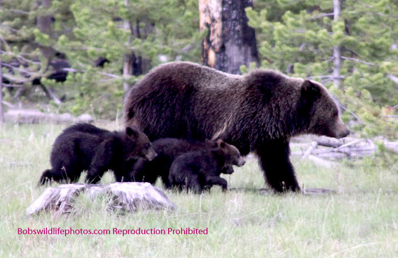 The cubs remain clustered together, close to mom, until they get away from the road.