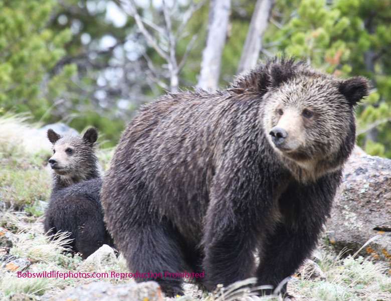 They seem to have a similar interest. It might be the motor home. The vehicle stopped right under them. She appears to be a very calm bear with little interest and a lot of tolerance for  humans.