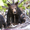 This photo was taken near the indian creek campground. Note the length of the claws on this cub. A real chip off the old block.