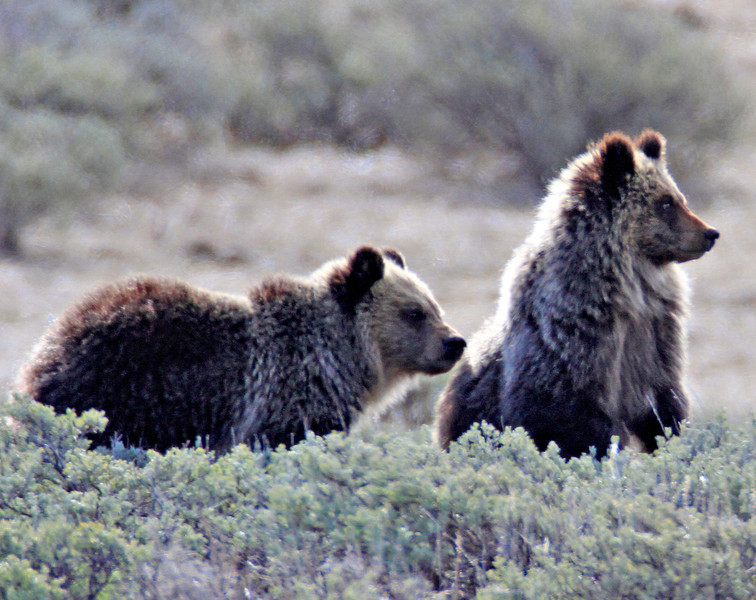 The two remaining cubs. Photo taken into the light on Swan Lake flats.