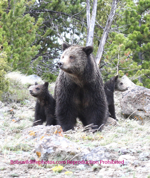 "This photo was taken at the ""Golden Gate"" area in YNP. This photo shows only two of the cubs. This female has 4."