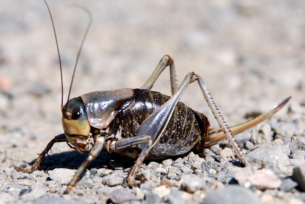 Mormon Cricket (Anabrus simplex). Yellowstone National Park, USA.