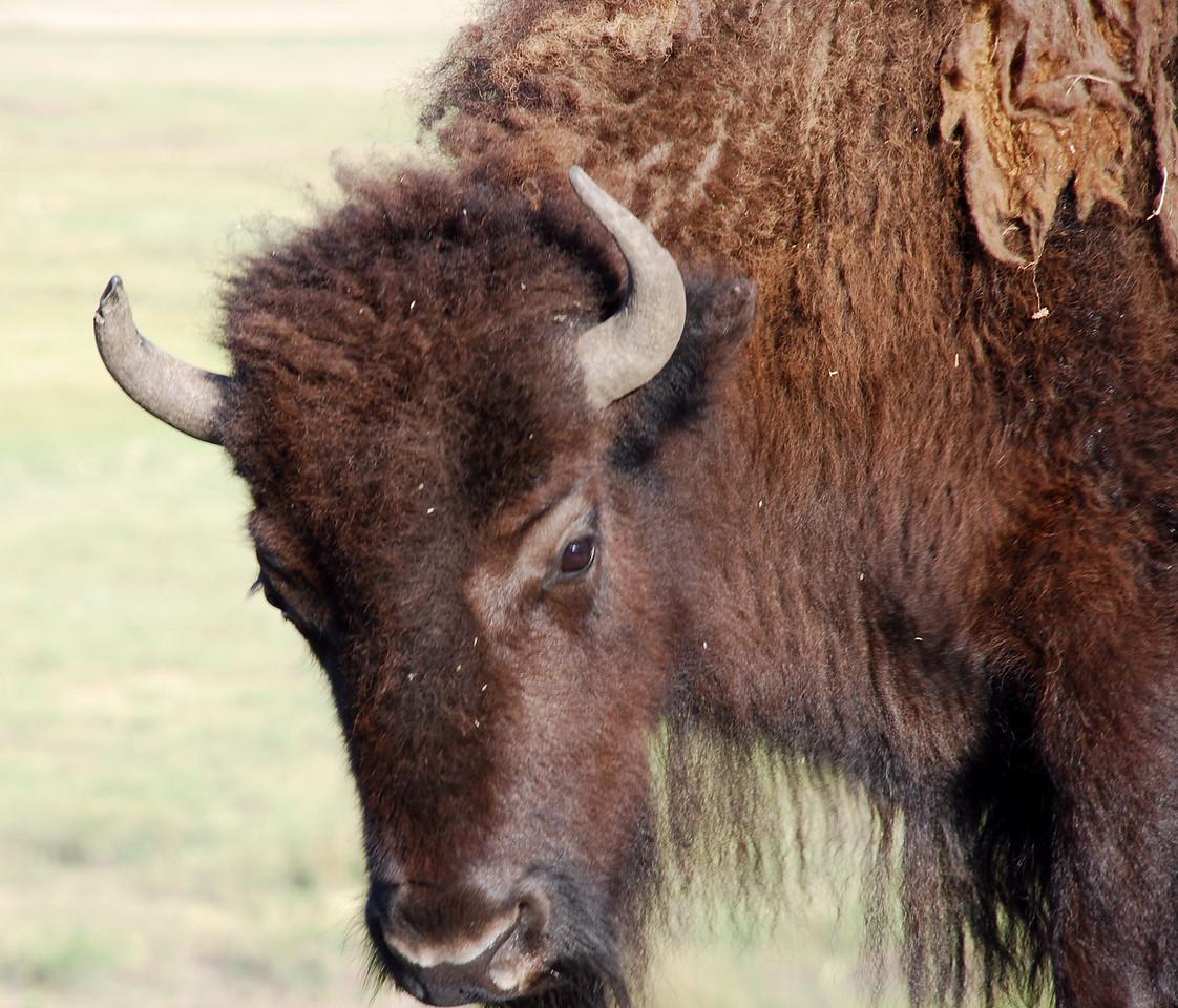 American bison (Bison bison). Yellowstone National Park, USA.