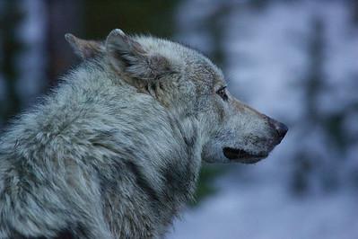 Grey Wolf, female