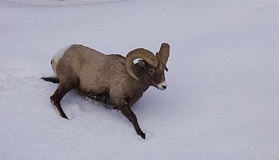 Bighorn Ram, upper Lamar Valley