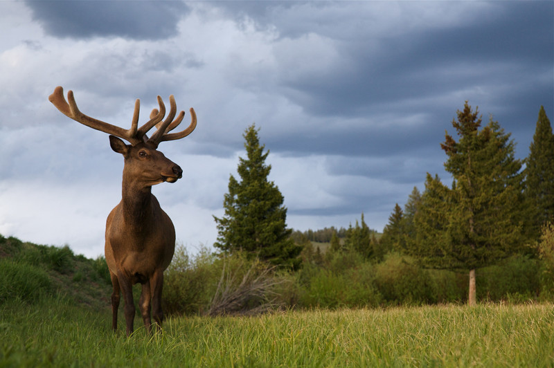 Bull Elk with velvet antlers, shot with the Canon 24-105mm zoom lens.
